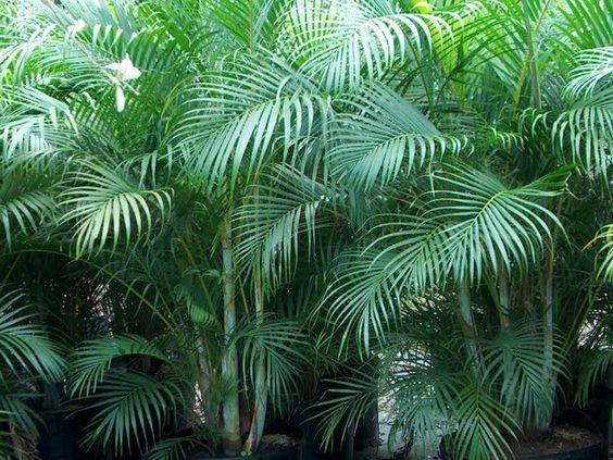 The areca palm is a low maintenance plant and a fast for Low maintenance tropical plants