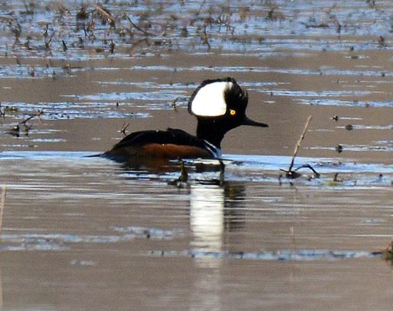 "Male""Hooded Merganser"" doing a courtship display. Photo by Becky Wylie at SWMO"