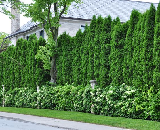Pinterest the world s catalog of ideas for Evergreen climbing plants for privacy