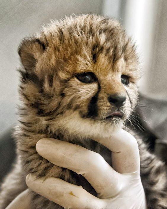Newborn cheetah cub at National Zoo