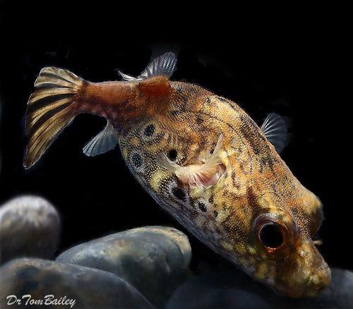 Aquariumfish Net Rare Fish Puffer Fish Aquarium Fish
