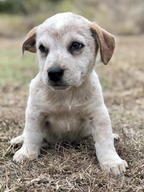 Adopt Shawn On Dog Adoption Australian Cattle Dog Blue Heeler