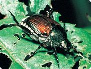 Keep Japanese Beetles Away  These little jerks tore up my Rose of Sharon bushes and my Crepe Myrtle last summer.