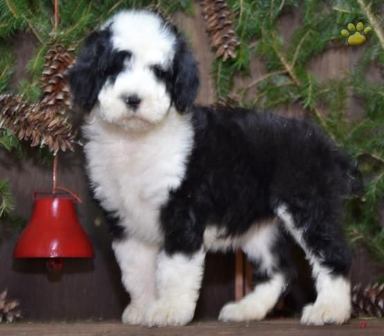 Twinkle Sheepadoodle Puppy For Sale In Fresno Oh Lancaster