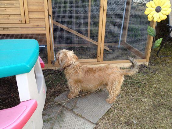 Lucky cherche la poule