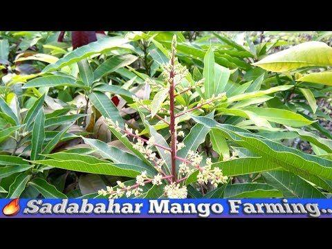 All Time Mango Plant Care || Sadabahar Mango Farming
