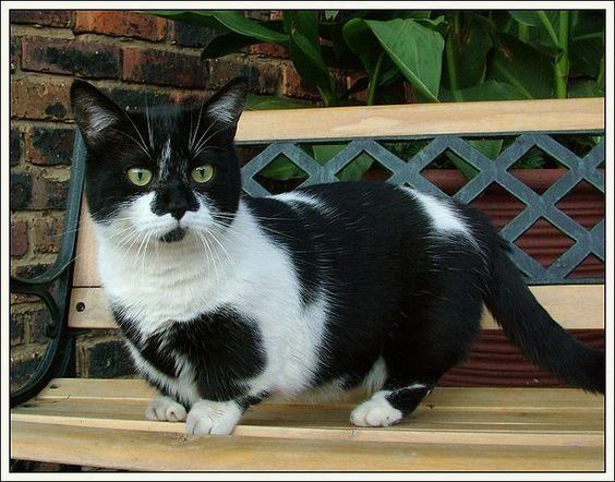 Munchkin Cat Gallery [Slideshow]  |Tuxedo Munchkin Cat Kittens