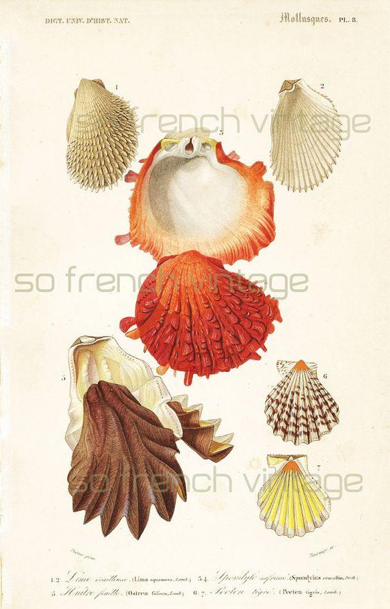 1861 Coquillages Huîtres Orbigny Planche Originale Couleurs peintes à la main Qualité Exceptionnelle Fruits de Mer Océan Pêche Marin Marine