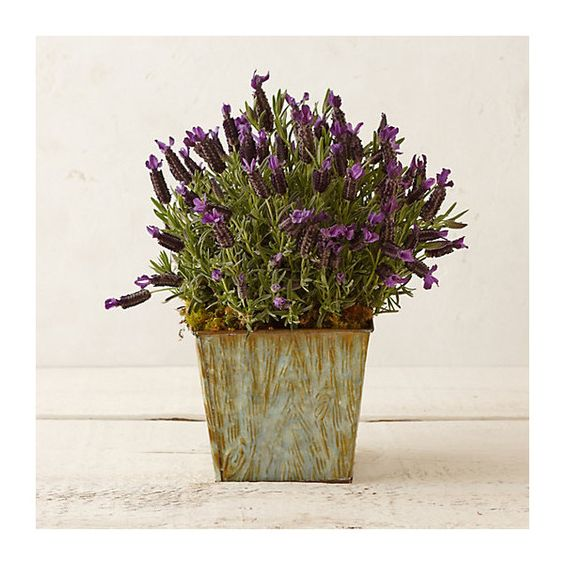 Spanish Lavender, Faux Bois Planter ($68) ❤ liked on Polyvore