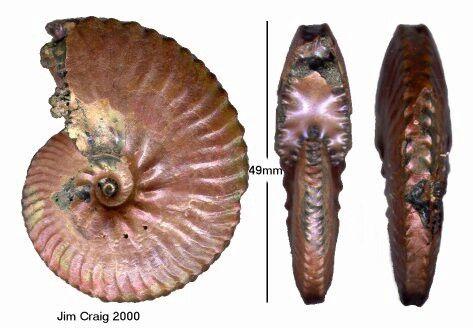 Anahoplites Ammonite