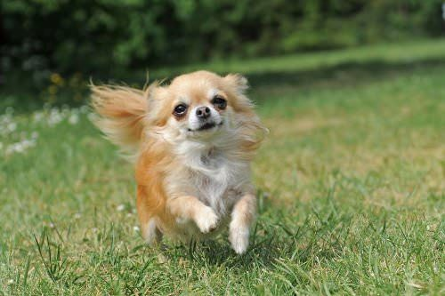 Chihuahuas were once thought to be sacred