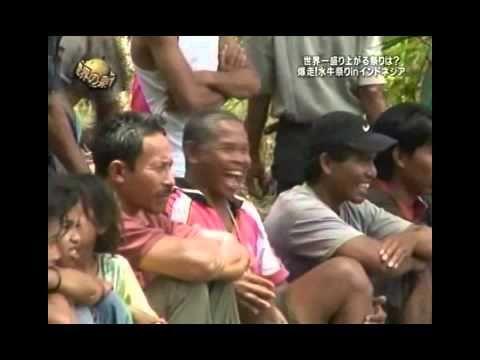 Funny! Indonesian bull ride