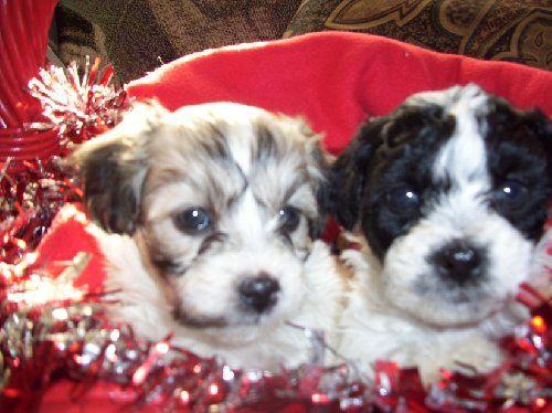 695 Havachon Puppies For Sale Havanese Bichon Mix In