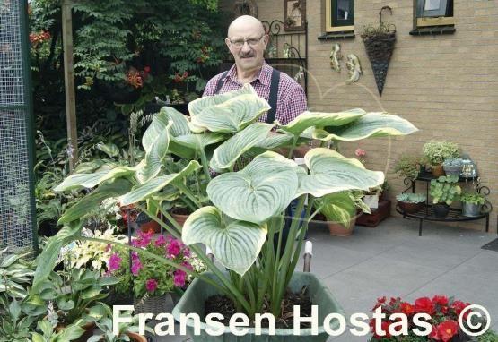 Hosta Big Beauty Fransan Hostas Mother Plant Green Leaves Plants