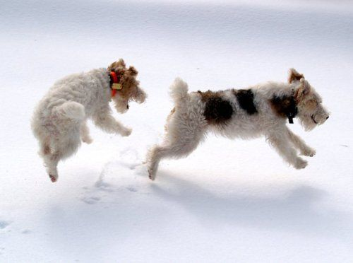 Two Fox Terrier in the snow. What fun!