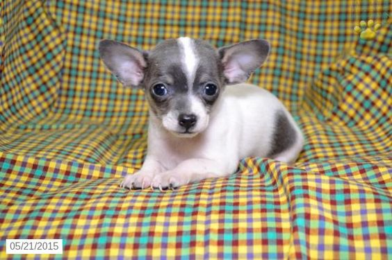 Chihuahua Puppy for Sale in Ohio #BuckeyePuppies