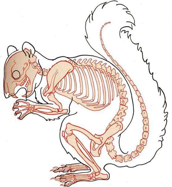 24++ Squirrel anatomy information