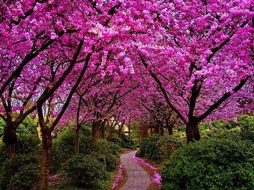 8 Japanese Cherry Blossom Tree Seeds Sakura Flowering Cherry Tree Seeds Prunus Serrulata Cherry Bloss Flowering Cherry Tree Pink Flowering Trees Tree Seeds