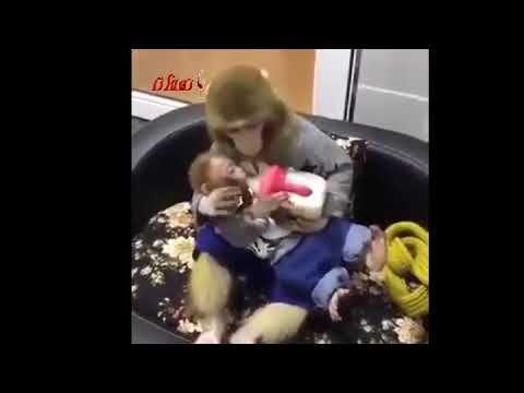 قرد يرضع قرد صغير آخر نهفة