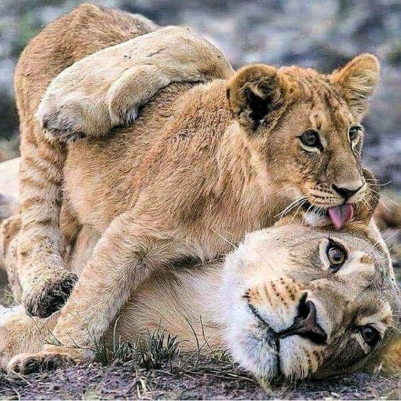Pin On Big Cats