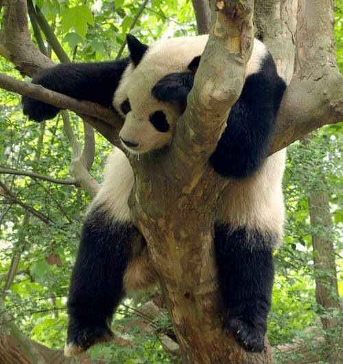 Lazy panda | Wild Animals - Pandas | Pinterest | Nap times ...