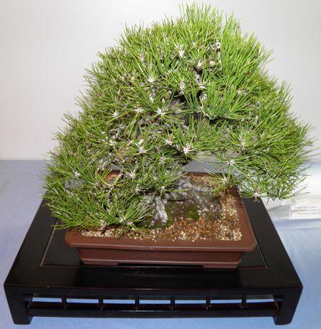 pinus thumbergii (Pino negro japonés)
