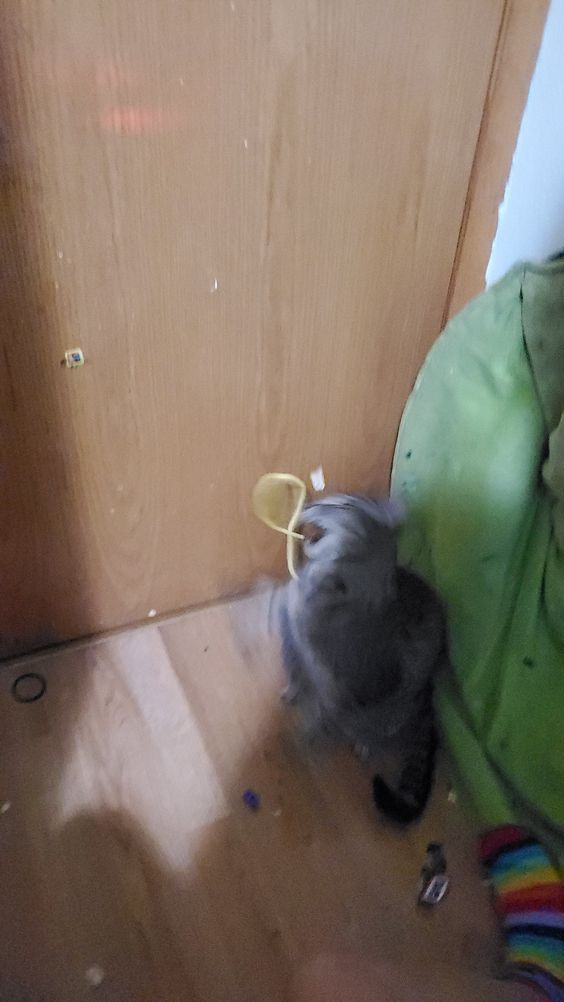 cat lossing a fight to a small pipe clearner