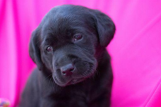Golden Retriever Puppies For Sale Golden Retriever Dogs Cielo S Golden Retrievers San Diego Ca In 2020 Golden Retriever Retriever Choosing A Dog