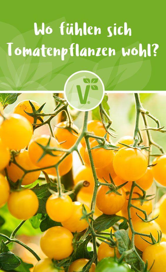 Tomaten Anbauen Der Beste Standort Fur Tomaten Plant Happy In 2020 Tomaten Pflanzen Tomaten Anbauen Tomaten