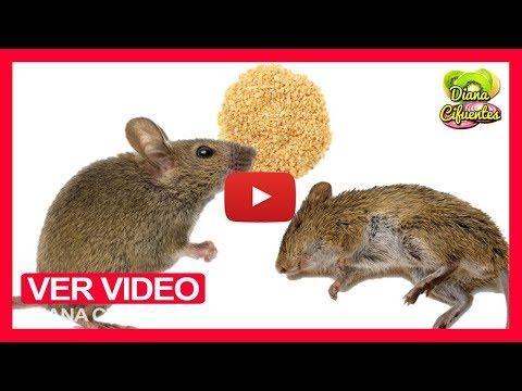 Como Acabar Con Las Ratas En El Jardin Como Eliminar Los Ratones En Casa De Forma Natural Venenos