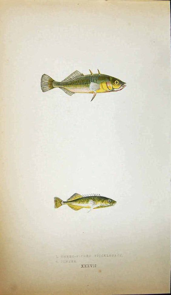 [THREE-SPINED STICKLEBACK TINKER COUCH COLOUR PRINT BRITISH FISH 1862]