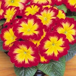 Primrose Bonneli Flame (6 plants) £5.00