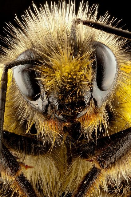 """""""My antenna's bent.  I flew into a window.  They don't call me Bumble for nothing!""""  Pic by Robert Seber, #bees"""