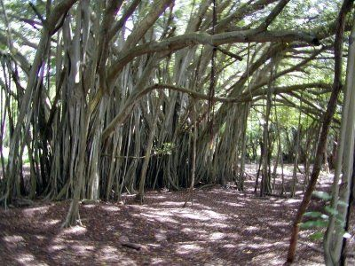 LOST - Banyan Tree (where they hide inside from the monster and the polar bear) Turtle Bay Resort, OAHU