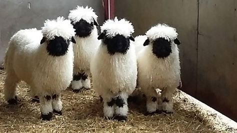 Valais Blacknose sheep are unimaginably cute creatures. You know you want to see   Minds