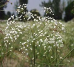 Bunium persicum Black Caraway, Black Cumin. ... CONDIMENT ....  from plants!