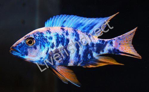 Buy Live Ob Peacock Cichlid Aulonocara Sp Ob Peacock Hybrid In 2020 Cichlids African Cichlids Aquarium Fish