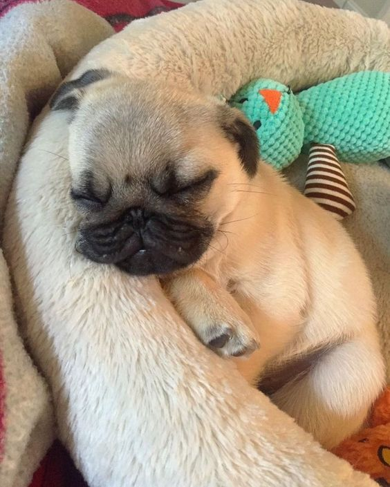 Looks Like It S That Time Boys And Girls Goodnight Bedtime Pug