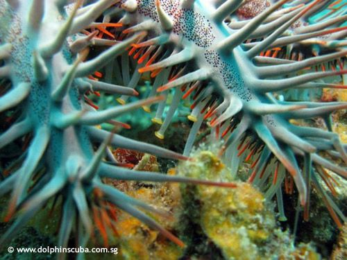 This great photo of a Crown of Thorn starfish was taken in Malaysia. Great to look at even as they are in some regions the number one reason of destroying the reefs.