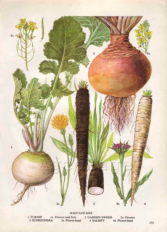 17 Best images about Botanical Root | Vegetables, Charts ...