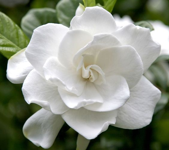 Double Delight Gardenia