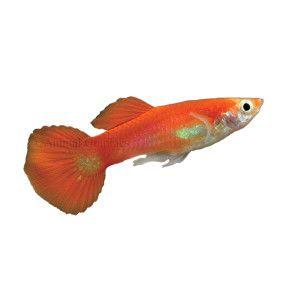 Red gold tuxedo guppy petsmart fish tank pinterest for Petsmart fish guarantee