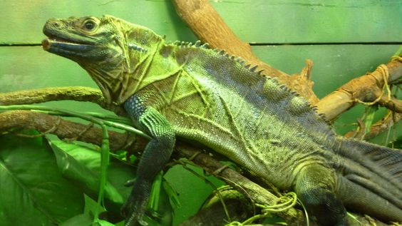 Iguana @ Palm Cove Queensland Aust