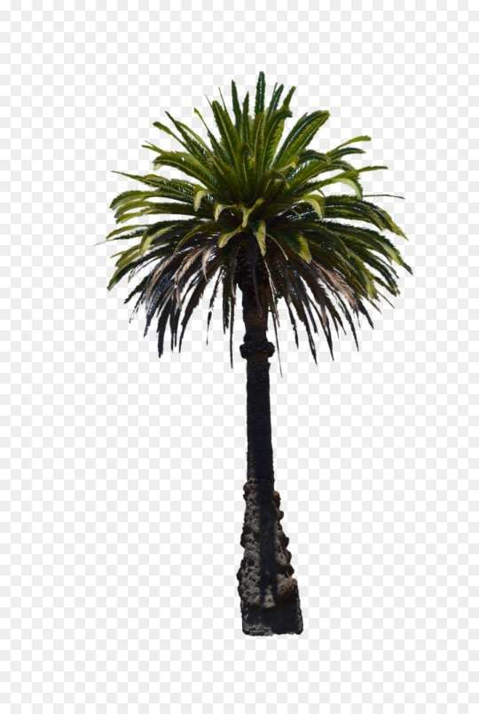 15 Florida Palm Tree Png Palm Tree Png Florida Palm Trees Palm Tree Background