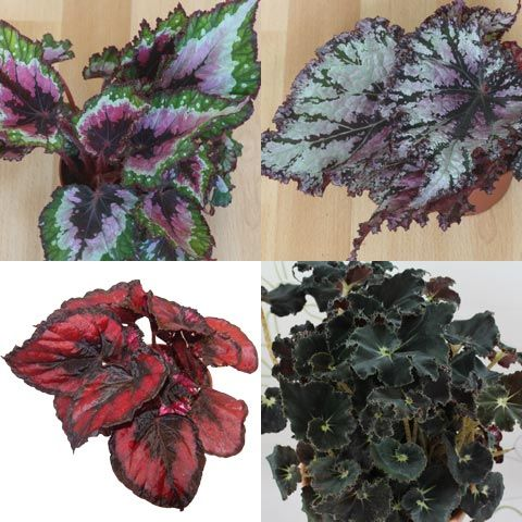 Indoor And Tropical Plants Identification Begonia Plant Identification Painted Leaves