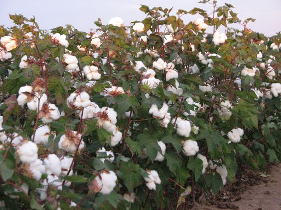 Learnings from US cotton - Tasha
