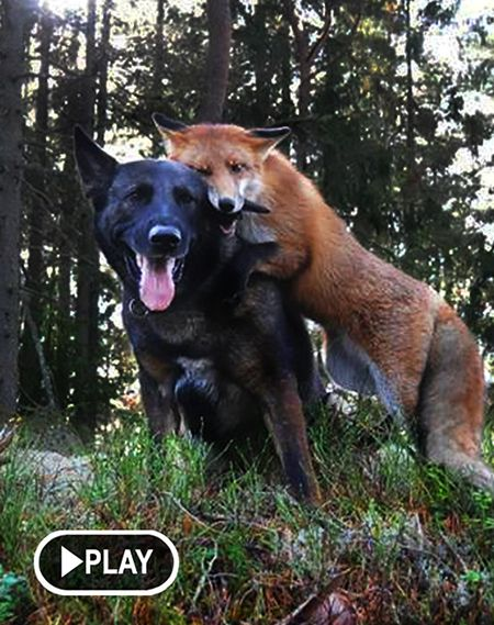 Tinni the Dog & Sniffer the Fox  Video 1 - https://www.youtube.com/watch?v=IpywjsUowAM Video 2 - https://www.youtube.com/watch?v=E77h9qcyy3o  / Non-Human Animal Sentience ( #Animal Sentience #Compassion )