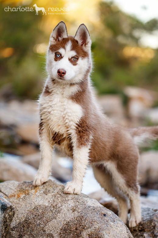 Pin By Sam Theviking Hayes On Animals Siberian Husky Husky