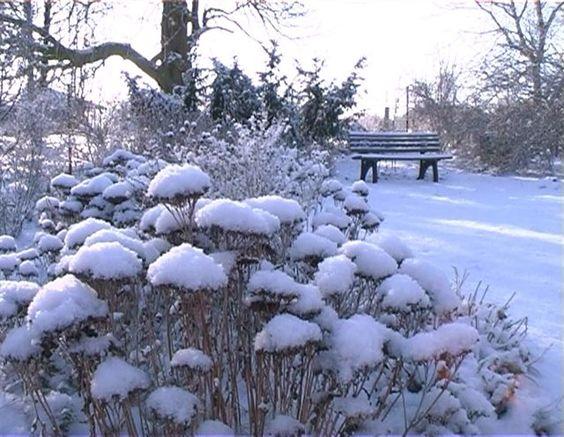 Sedum in winter