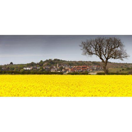 A Field Of Yellow Flowers Beside A Village Alnsmouth Northumberland England Canvas Art - John Short Design Pics (31 x 15)